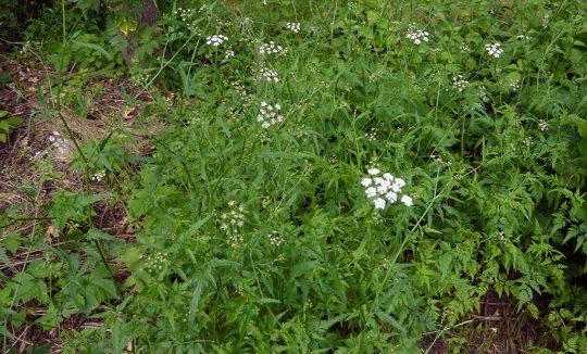 Japanese hedge parsley